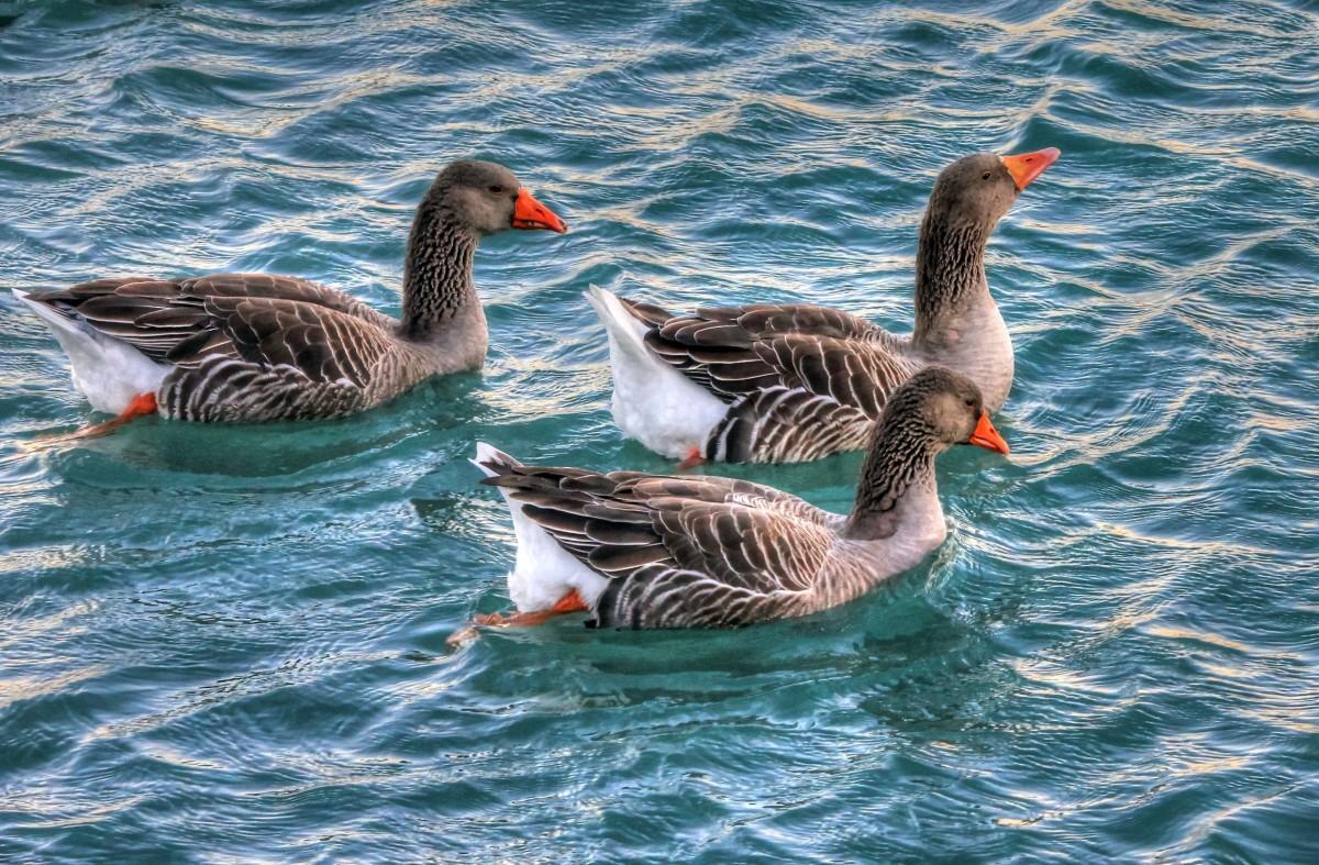 무료 이미지 : 비행, 여자, 야생 생물, 부리, 동물 상, 수영, 조류 ...