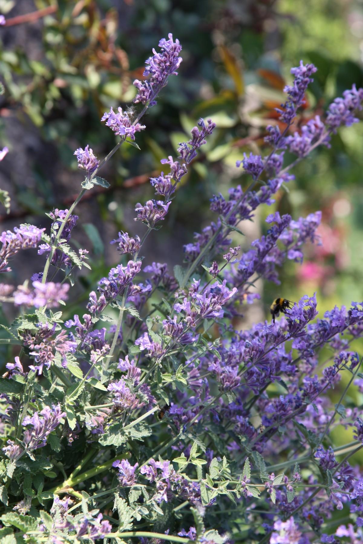 kostenlose foto blume lila kraut lavendel strauch stimmung bl hende pflanze j hrliche. Black Bedroom Furniture Sets. Home Design Ideas