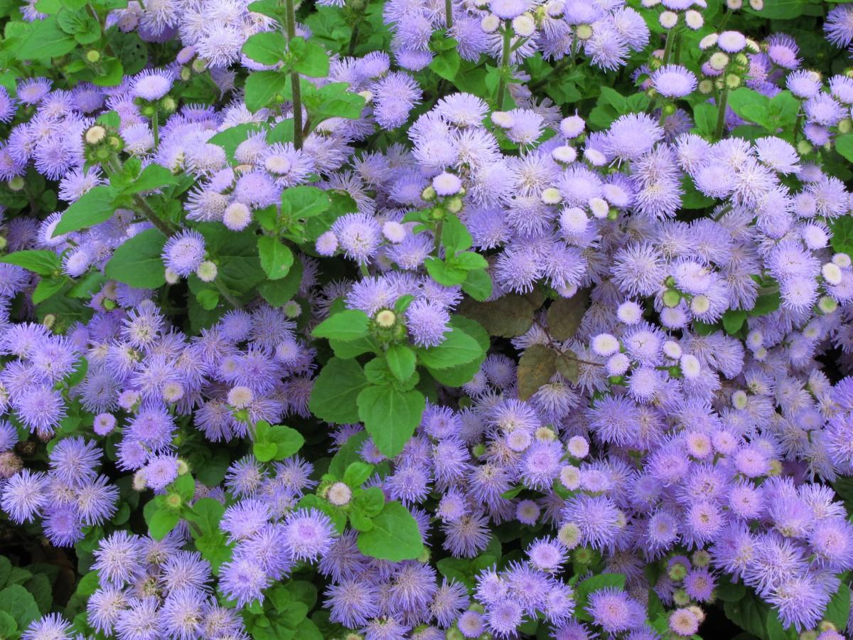 42 растения с синими цветками Дизайн участка (Огород. ru) 49