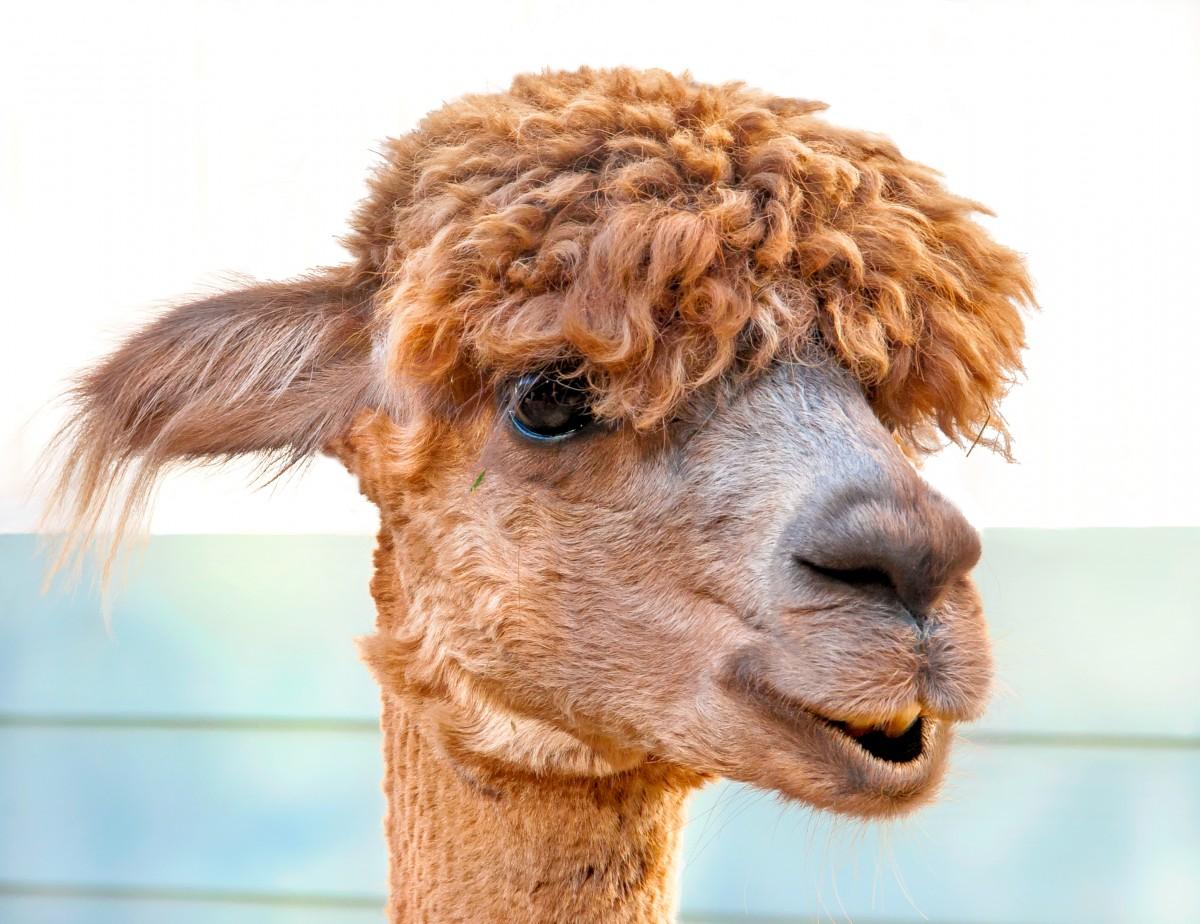 Gratis Afbeeldingen Dier Schattig Portret Alpaca
