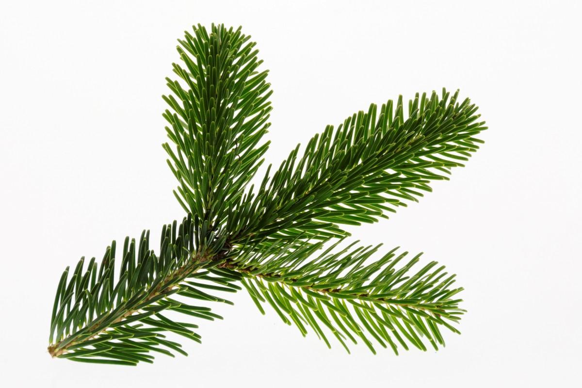 Fotos gratis rama planta hoja decoraci n hojas perennes abeto rbol de navidad ramita - Arbol de navidad abeto ...