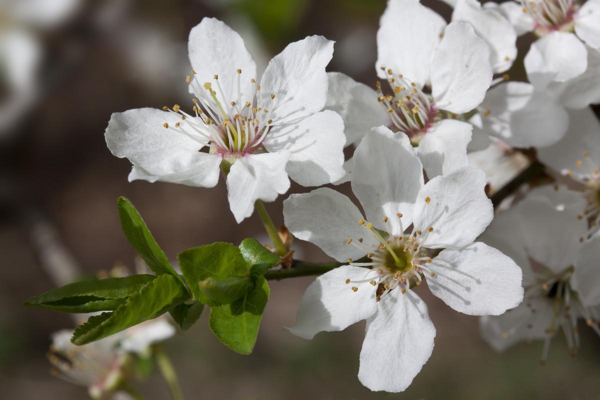 images gratuites la nature branche fleur blanc la photographie feuille p tale floraison. Black Bedroom Furniture Sets. Home Design Ideas