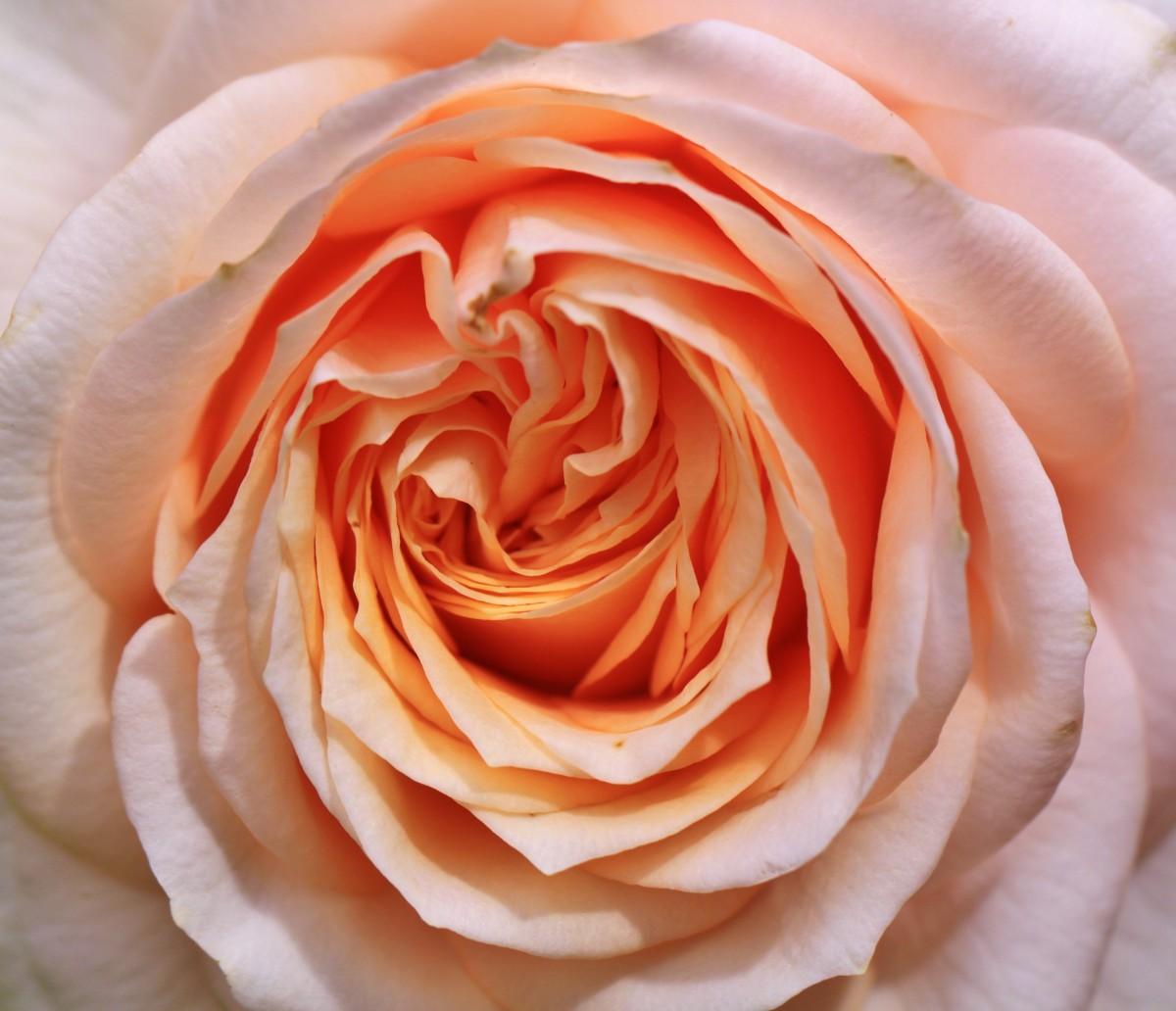 Garden Roses Flower Petal: Free Images : Nature, Blossom, Flower, Petal, Bloom