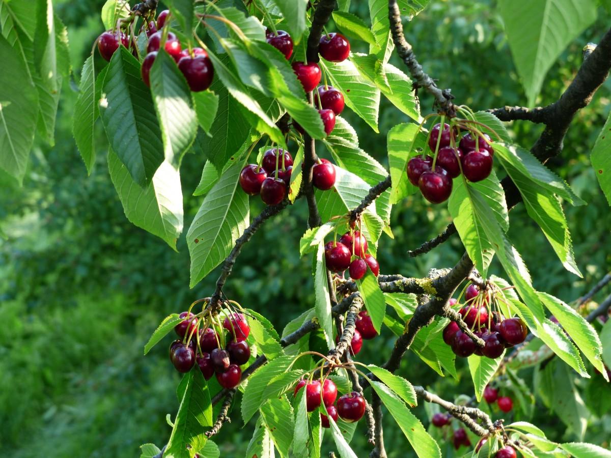free fotobanka strom větev ovoce bobule sladk253 list