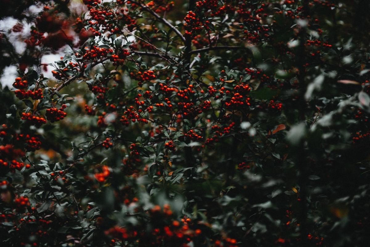 Images gratuites arbre branche plante fruit baie feuille fleur feuillage aliments - Arbre feuille rouge fruit rouge ...