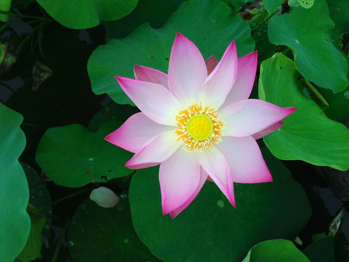 Free Images Nature Blossom Leaf Petal Pond Green