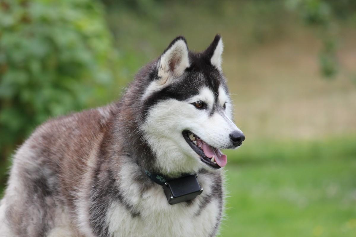 無料画像 : ペット, 二, レース, 脊椎動物, シベリア人, 犬種, そり犬 ...