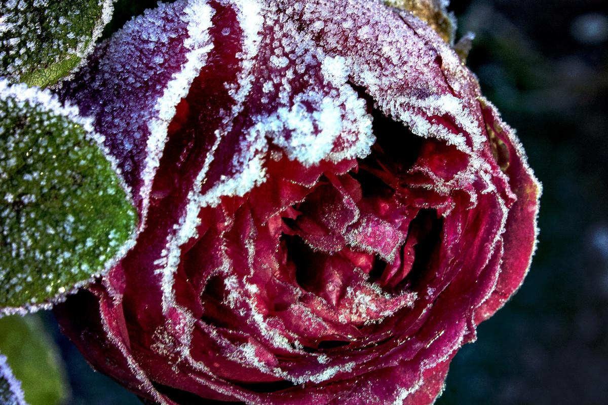 images gratuites rose rouge fleur rose famille roses de jardin flore plante fleurs. Black Bedroom Furniture Sets. Home Design Ideas