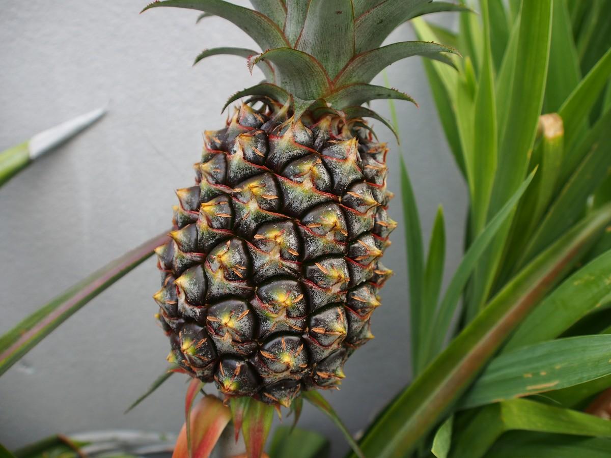 images gratuites fruit fleur aliments produire ananas art plante fleurs brom liac es. Black Bedroom Furniture Sets. Home Design Ideas