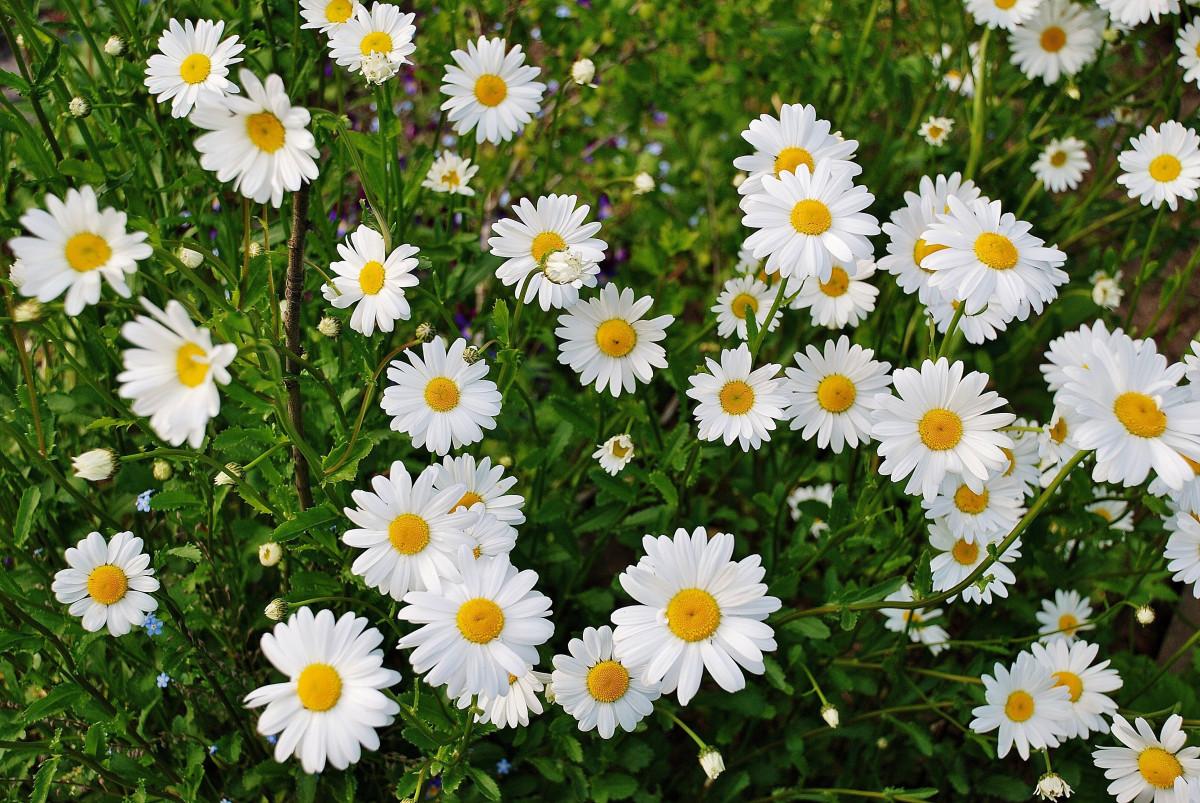 летний цветок белый цветет летом