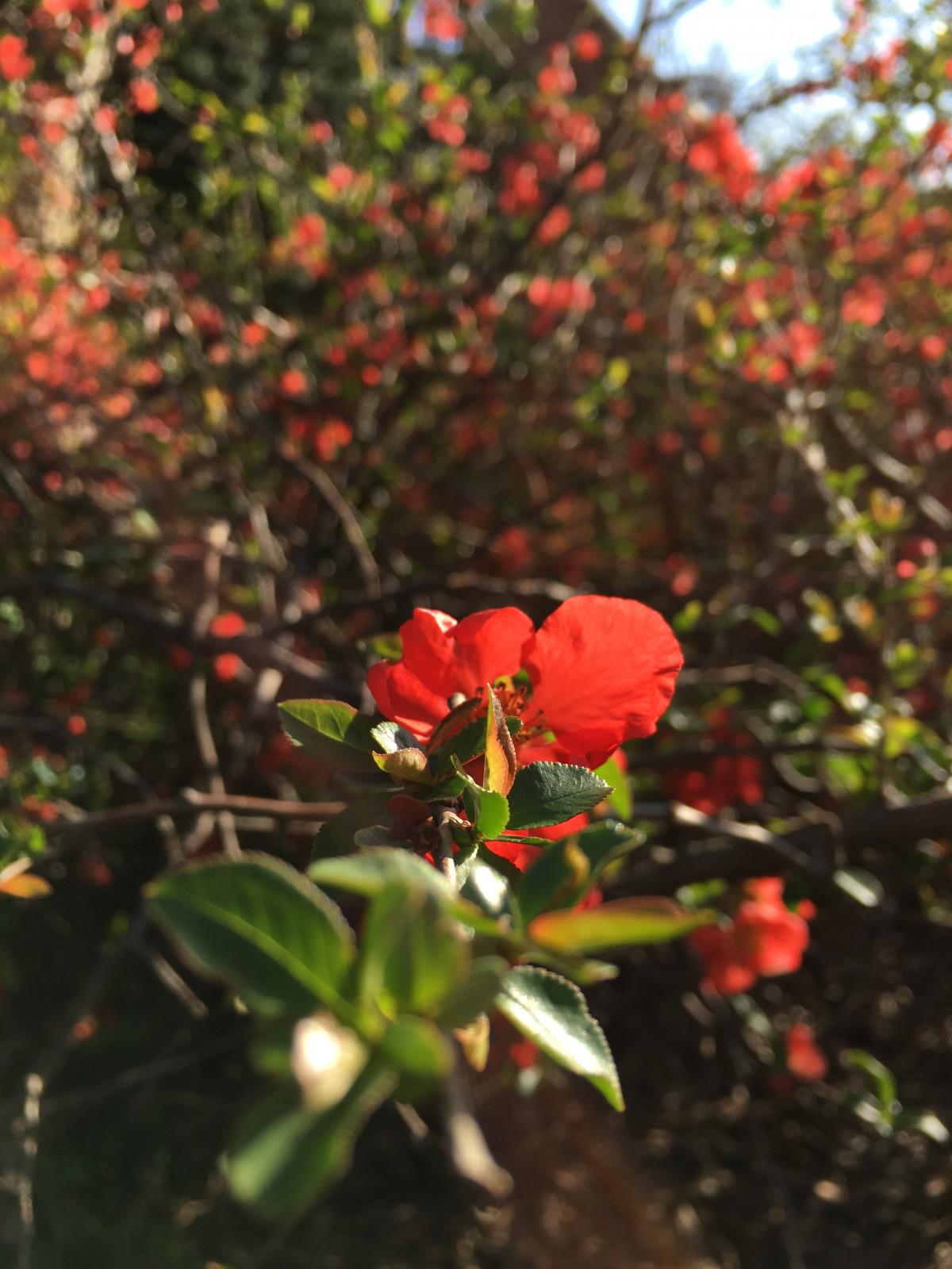 Цветущий кустарник с красными цветами фото