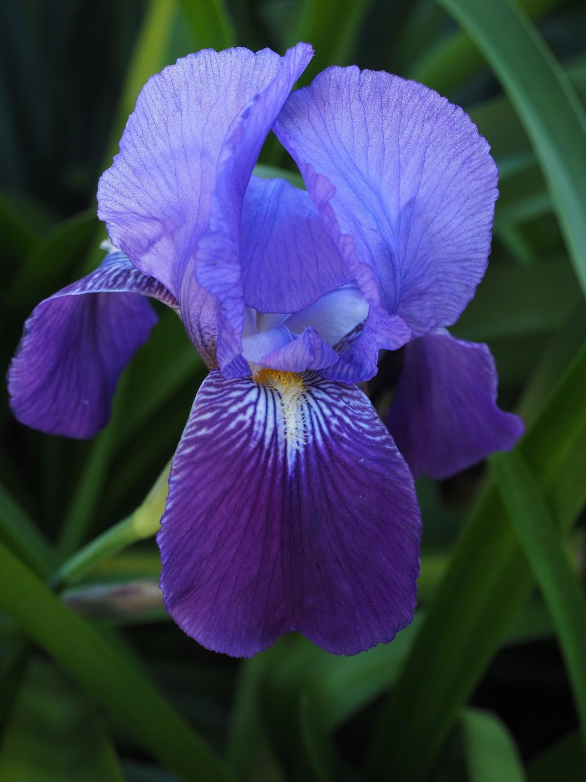 Images gratuites fleur p tale floraison goutte de pluie botanique flore iris il - Image fleur violette gratuite ...
