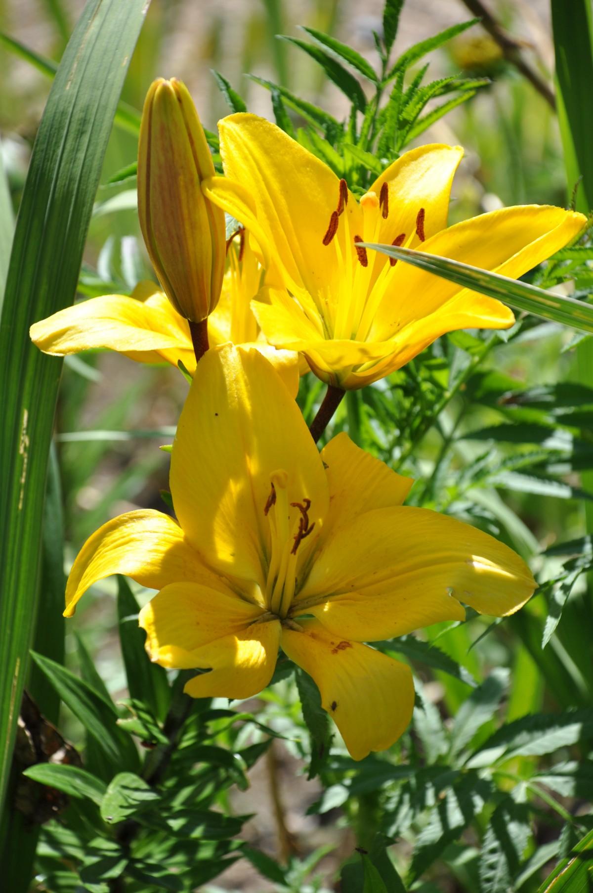 images gratuites fleur p tale vert botanique flore lis lys fleurs jaunes. Black Bedroom Furniture Sets. Home Design Ideas