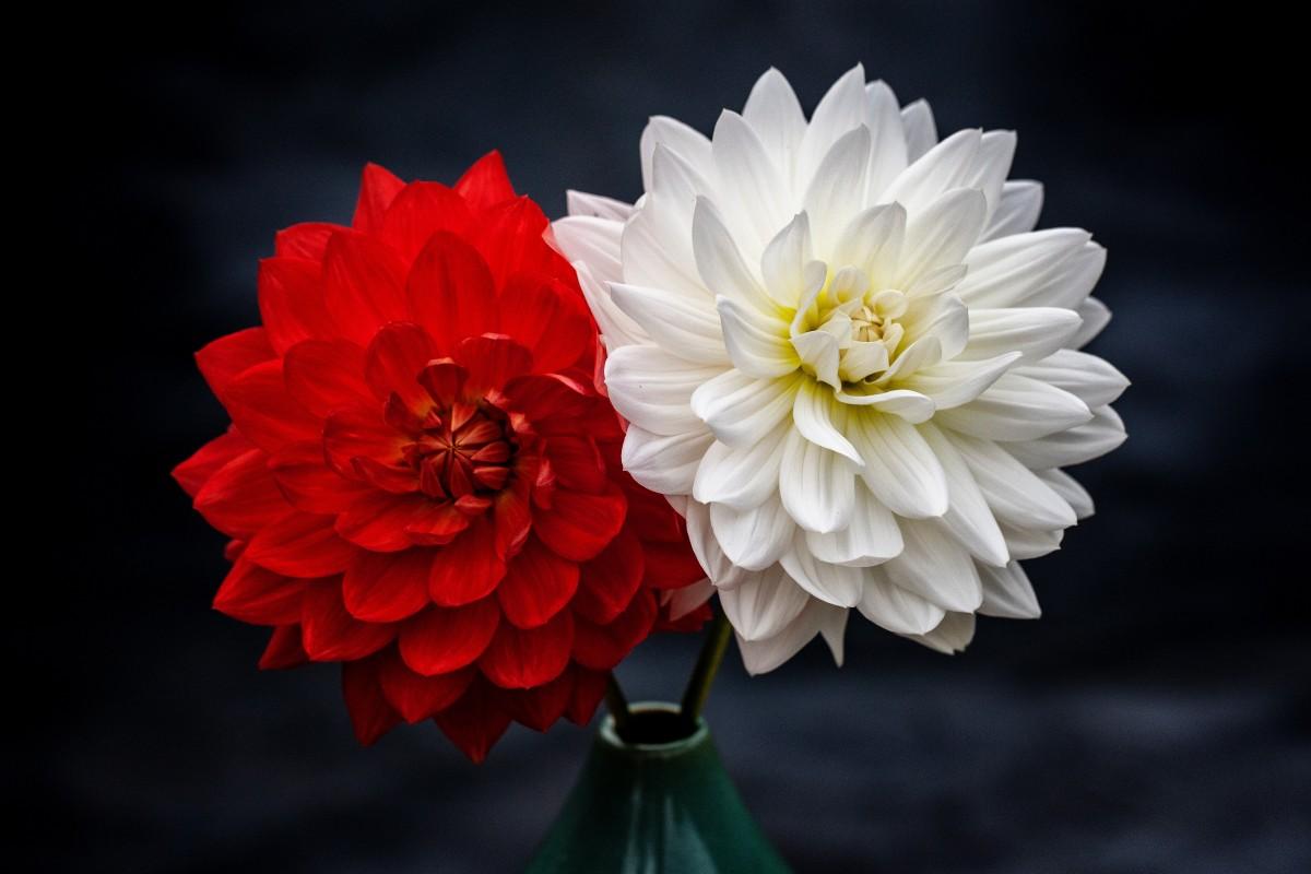Gambar Merah Tanaman Berbunga Flora Menanam Daun Bunga Dahlia Keluarga Daisy Musim Semi Bunga Potong Chrysanths Langit Budidaya Bunga Mekar Komputer Wallpaper Hidup Masih Fotografi Batang Tanaman 4910x3274 Seo Jaehong