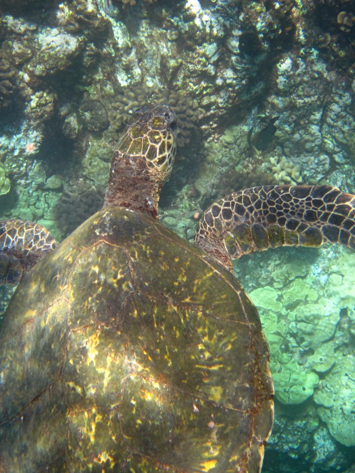 Free Images : wildlife, underwater, sea turtle, freedom ...