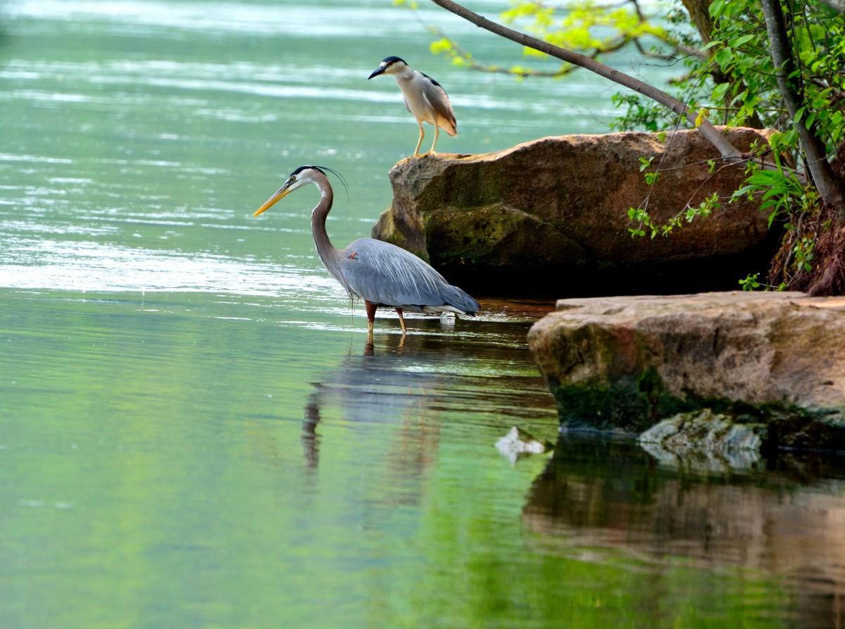 agua naturaleza pájaro fauna silvestre reflexión pescar fauna paciente Río Niágara Grandes garzas azules Pájaros patinando
