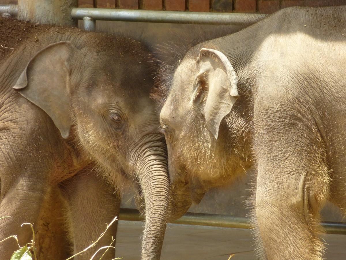 Images gratuites faune zoo mammif re l phant animaux vert br sri lanka l phanteau - Photos d elephants gratuites ...