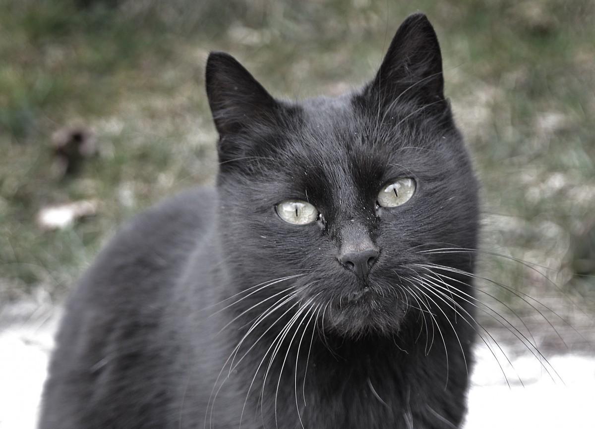 Free black and white view animal black cat monochrome