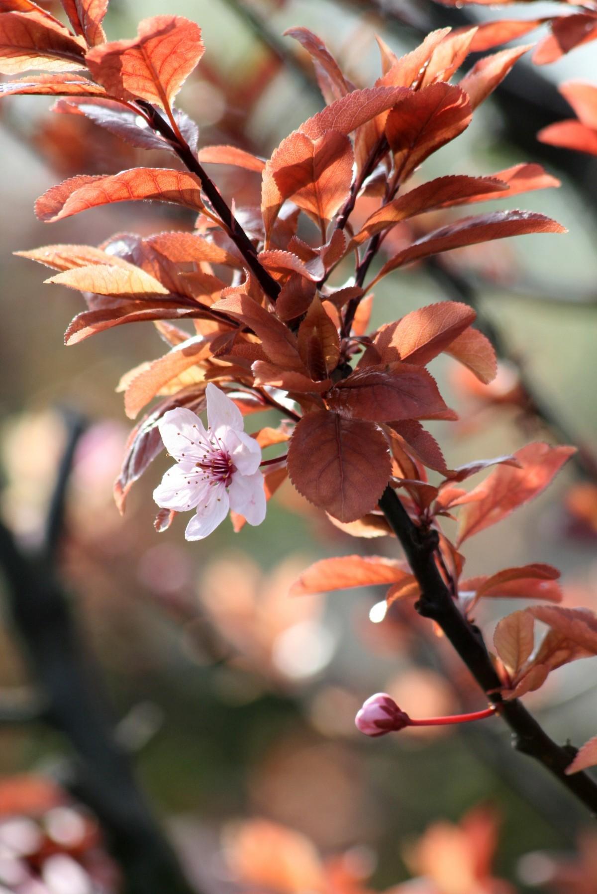 Cherry Bush Plant