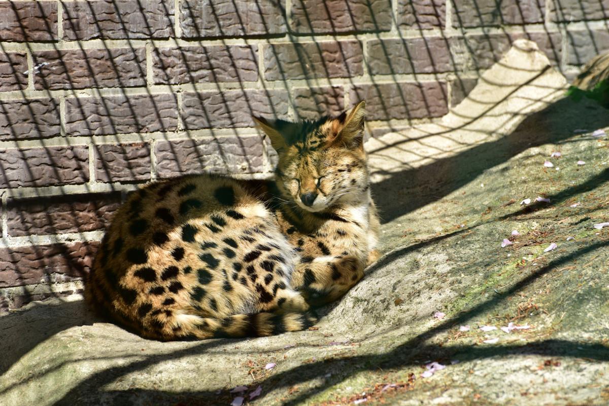 Images gratuites animal zoo chat f lin faune savane vert br jaguar gros chats serval - Felin de la savane ...