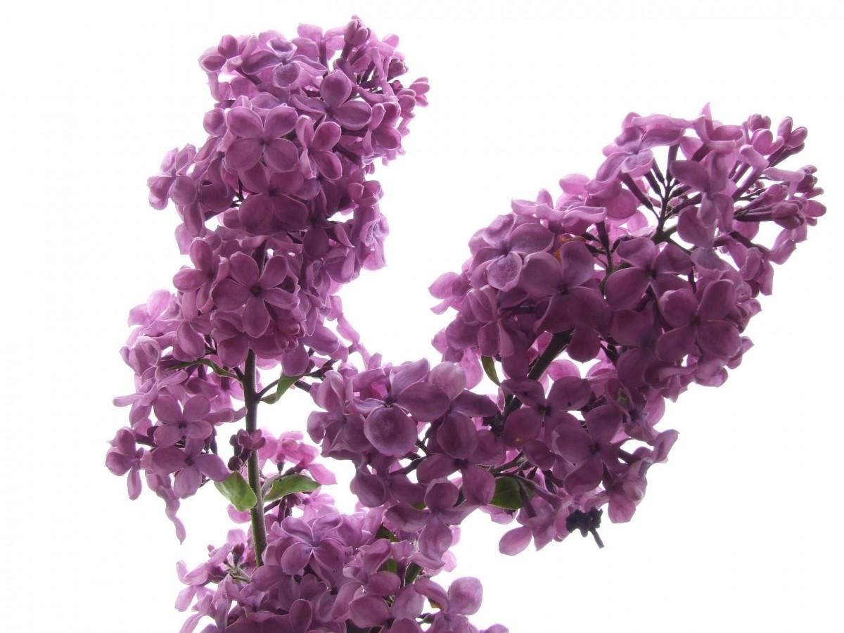 kostenlose foto bl hen blume lila bl tenblatt rosa violett magenta duftend bl hende. Black Bedroom Furniture Sets. Home Design Ideas