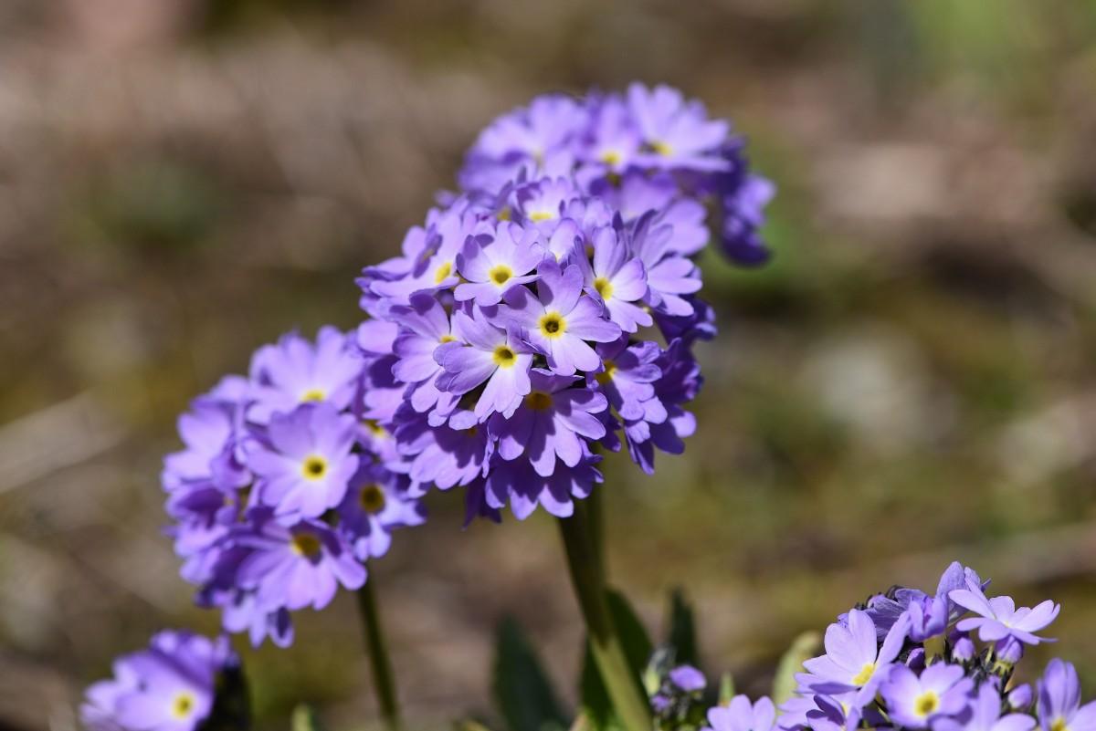 Immagini Belle Primavera Blu Giardino Vicino Flora