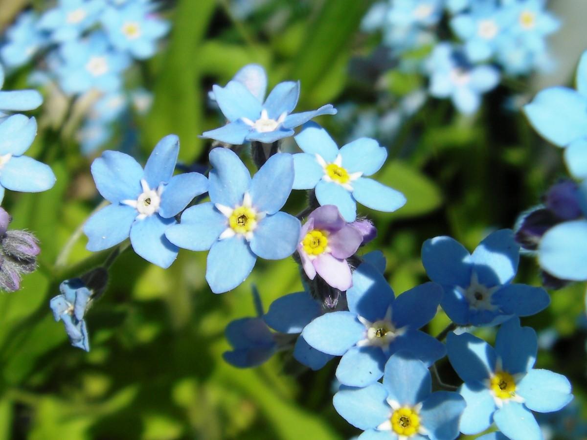 Цветы незабудки в картинках, пожеланием удачных