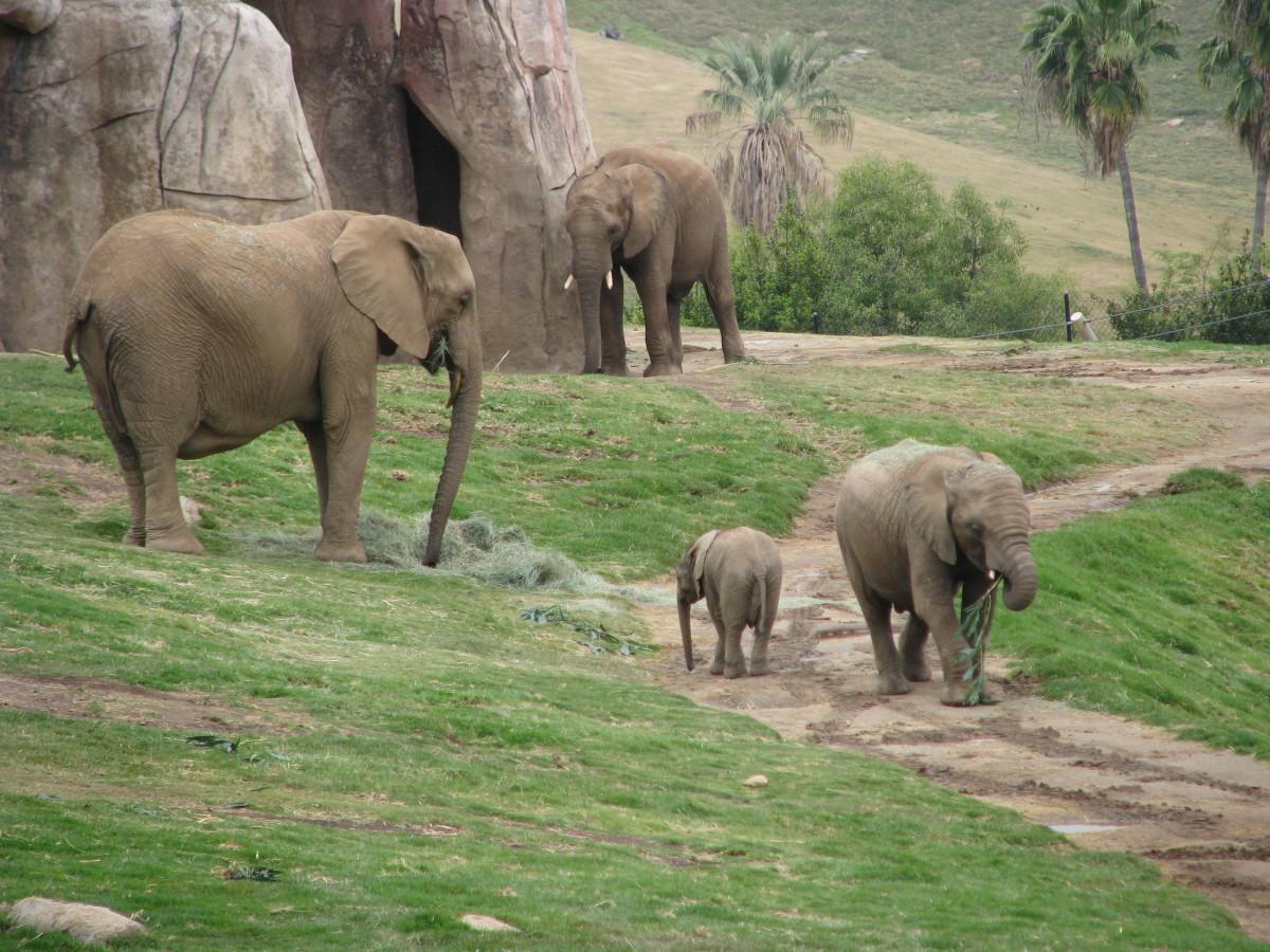 Images gratuites la nature r gion sauvage aventure animal faune environnement troupeau - Photos d elephants gratuites ...