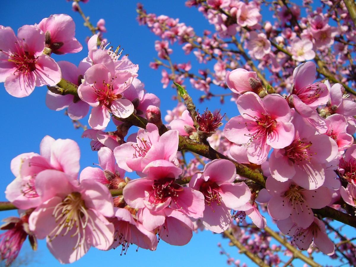 Фото цветок персика
