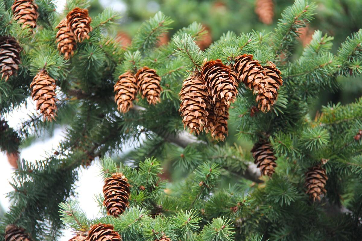 images gratuites arbre branche plante fleur orange vert d 39 or pomme de pin l 39 automne. Black Bedroom Furniture Sets. Home Design Ideas
