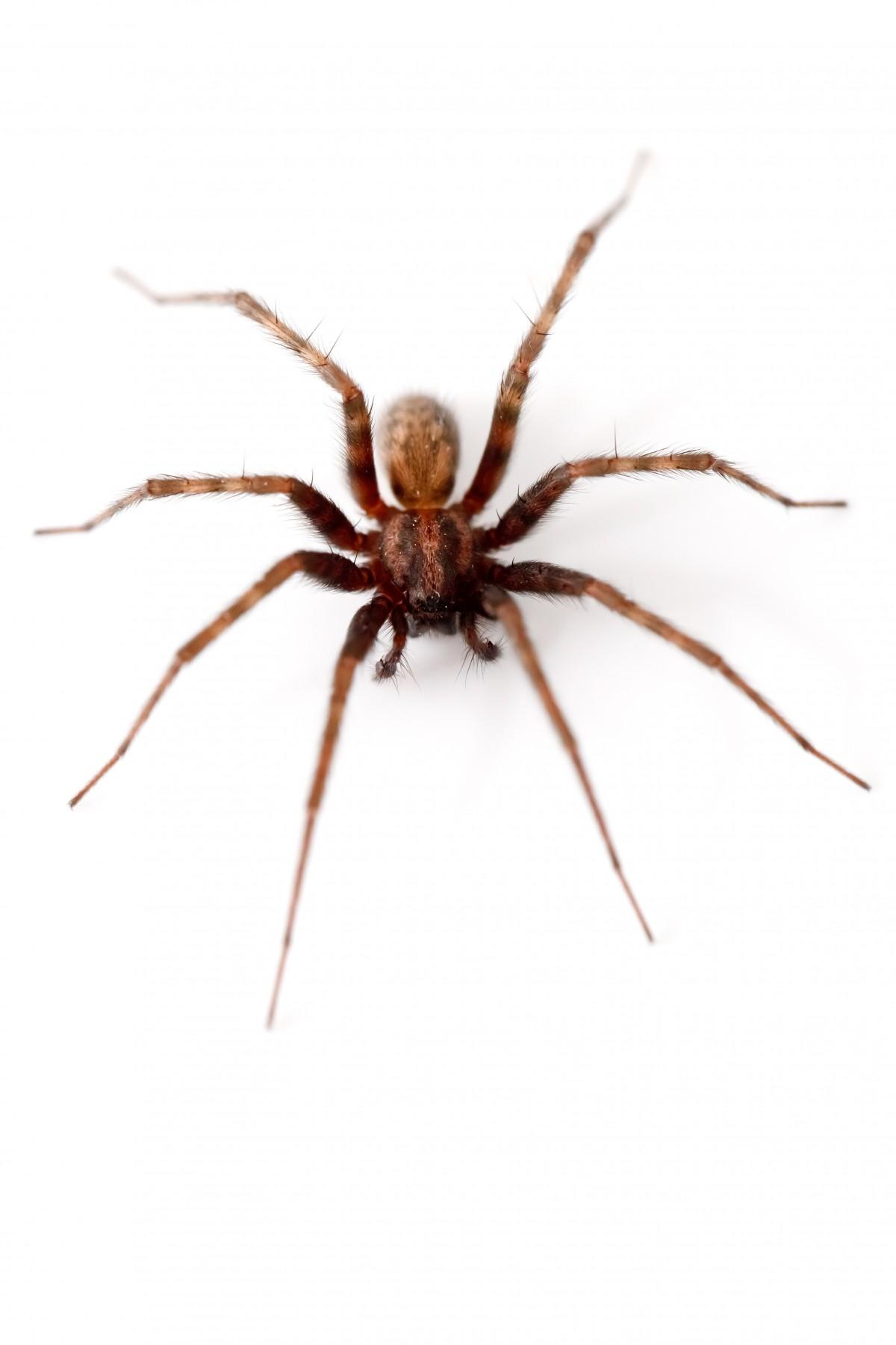 Fotos de aranhas marrom 29