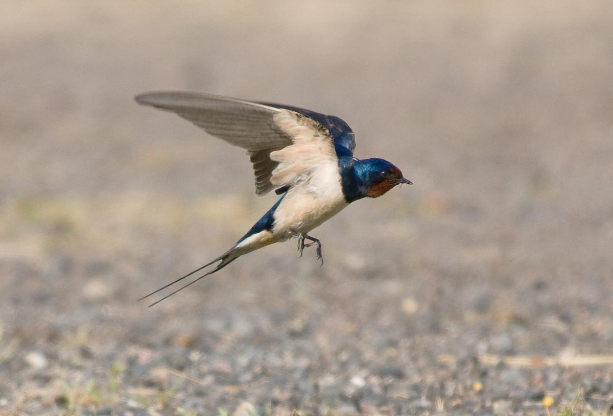 природа, птица, крыло, легкий, сарай, Дикая природа
