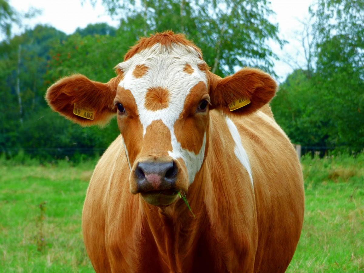 Бабушке, корова картинки
