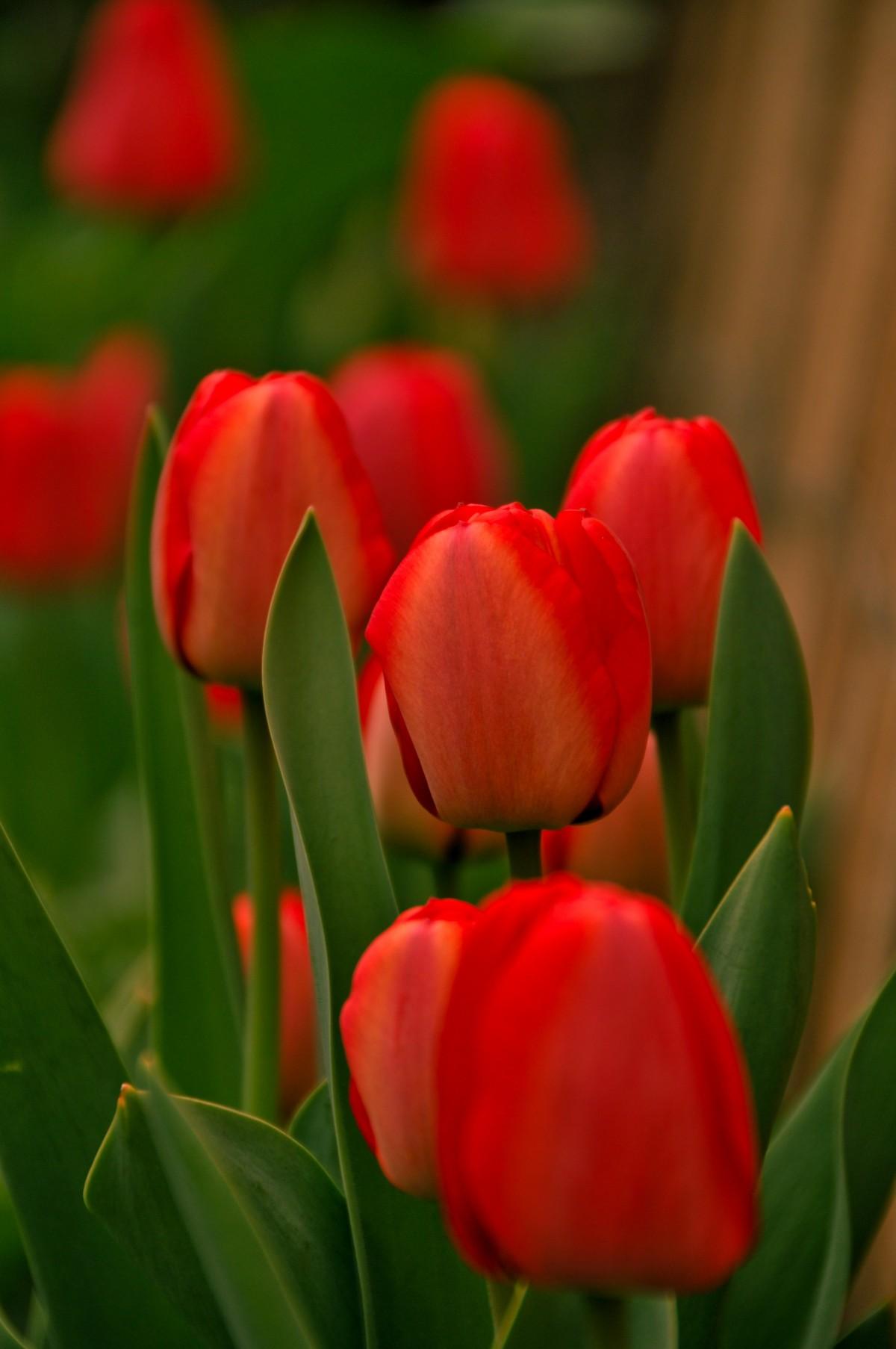 линейке продукции картинки с красными тюльпанами раскатывать тесто нарезать