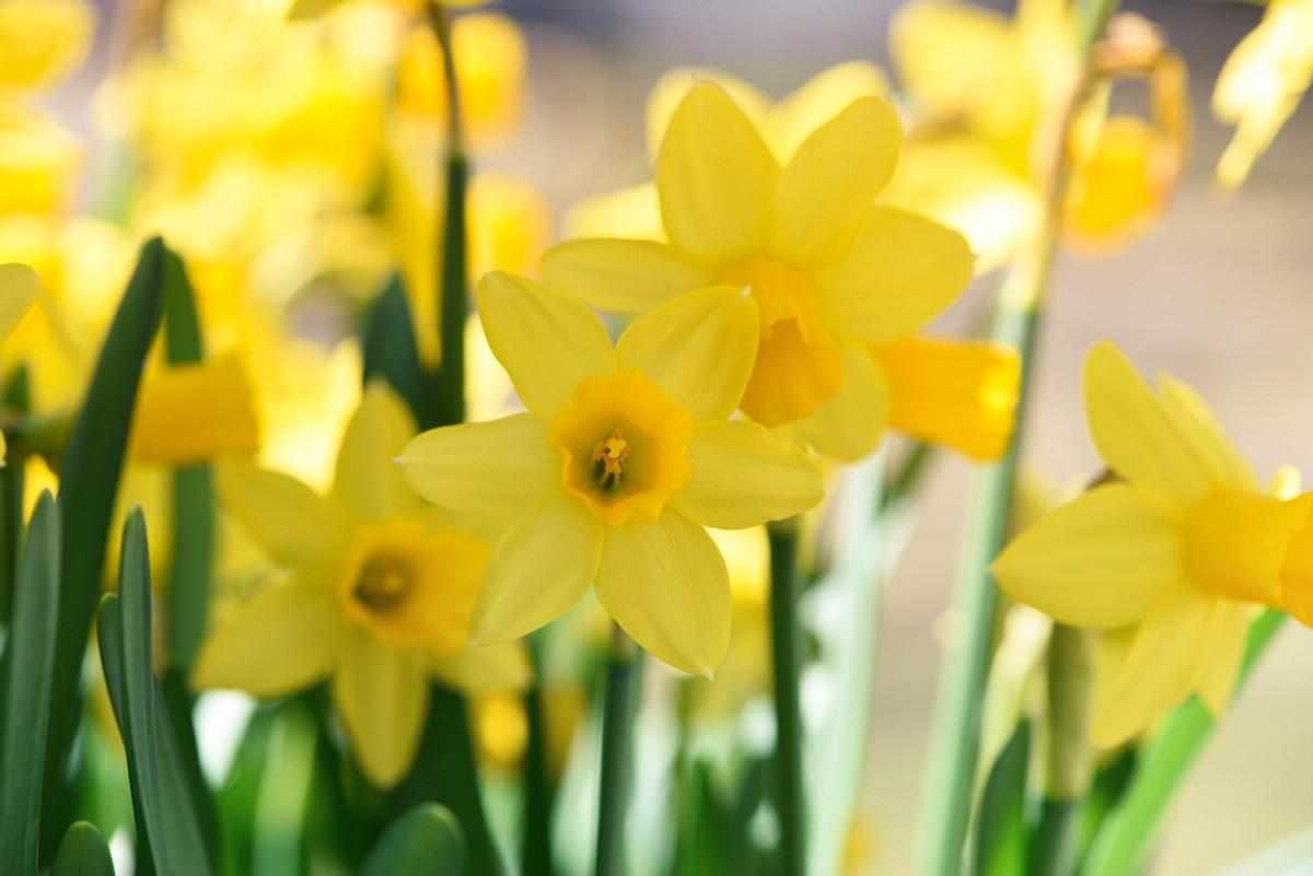 fabriek bloem bloemblad de lente geel dichtbij bloemen narcissen narcis lente bloemen macrofotografie bloeiende plant landplant