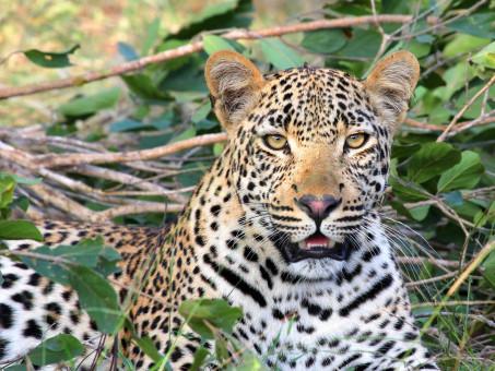 wildlife,mammal,predator,fauna,leopard,big cat
