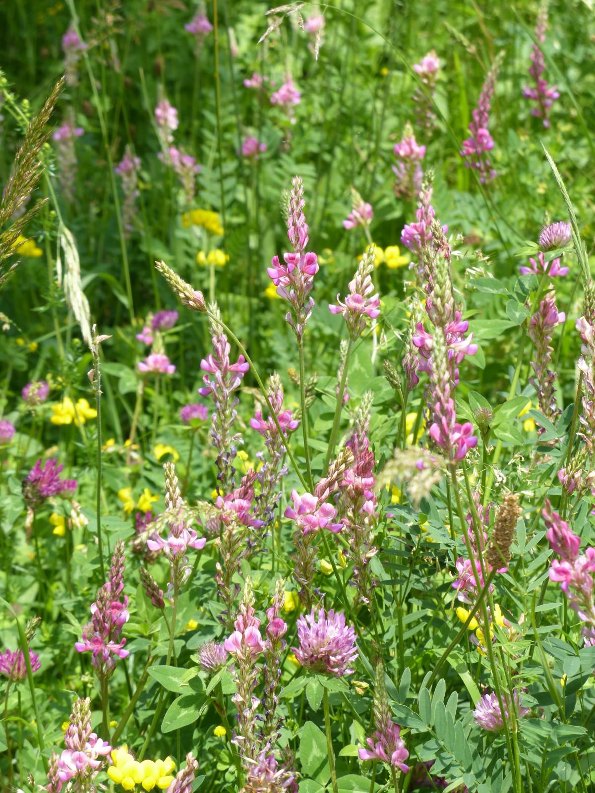 Images gratuites fleur prairie prairie floraison for Plante annuelle