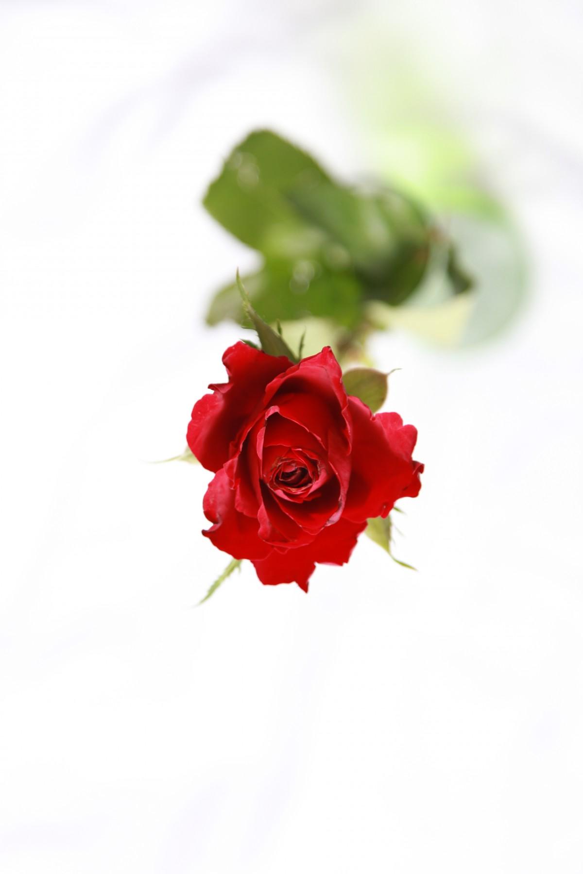 images gratuites fleur p tale rose rouge plante fleurs roses de jardin rose famille. Black Bedroom Furniture Sets. Home Design Ideas