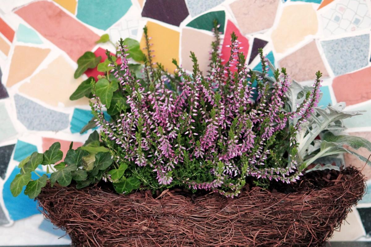 Bakgrundsbilder blomma rt flora lavendel mosaik blomster ljung h st dekoration - Dekoration lavendel ...