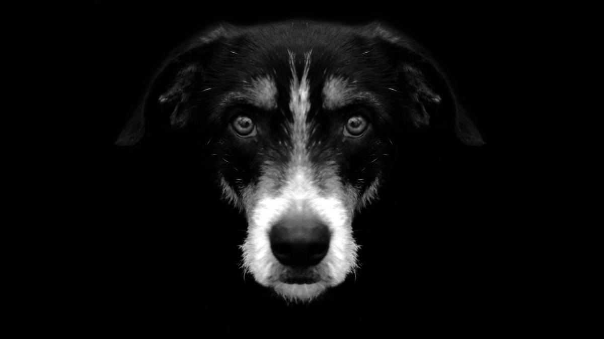 Gambar : Hitam Dan Putih, Anak Anjing, Binatang Menyusui
