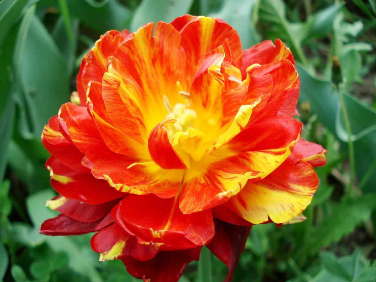 images gratuites champ fleur p tale tulipe tulipes plante fleurs famille de lys. Black Bedroom Furniture Sets. Home Design Ideas