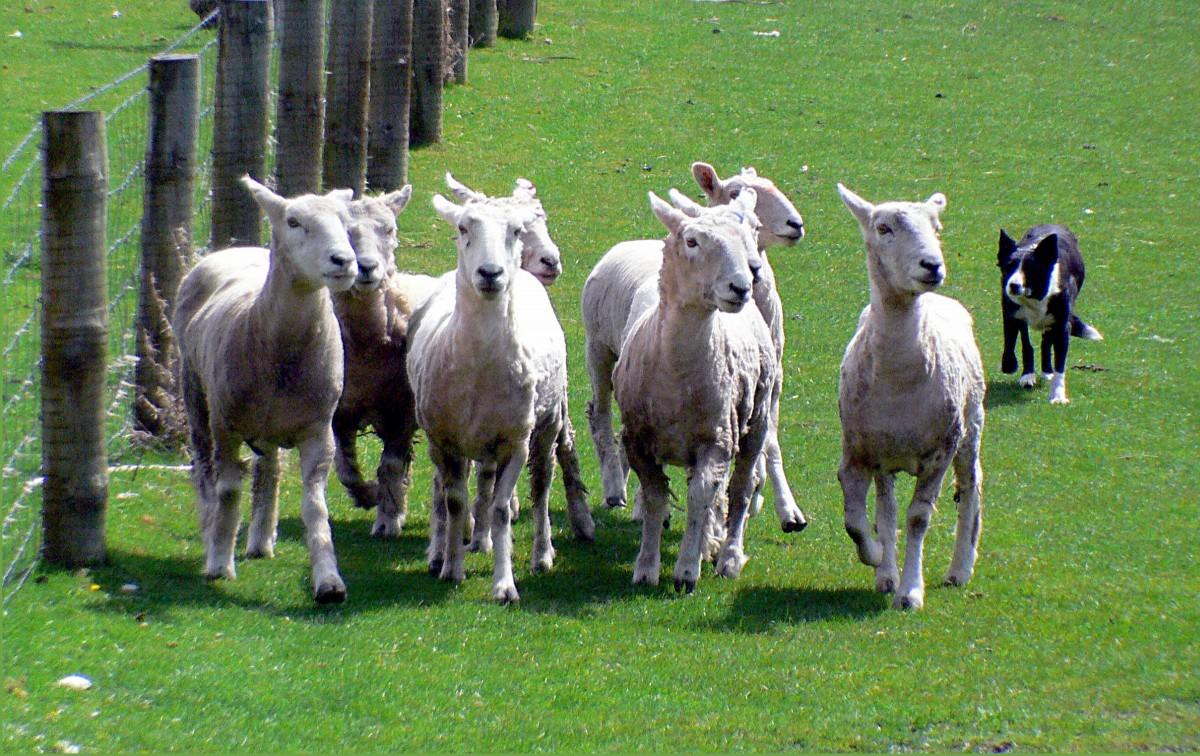 Images gratuites ferme prairie ch vre troupeau - Photos de moutons gratuites ...