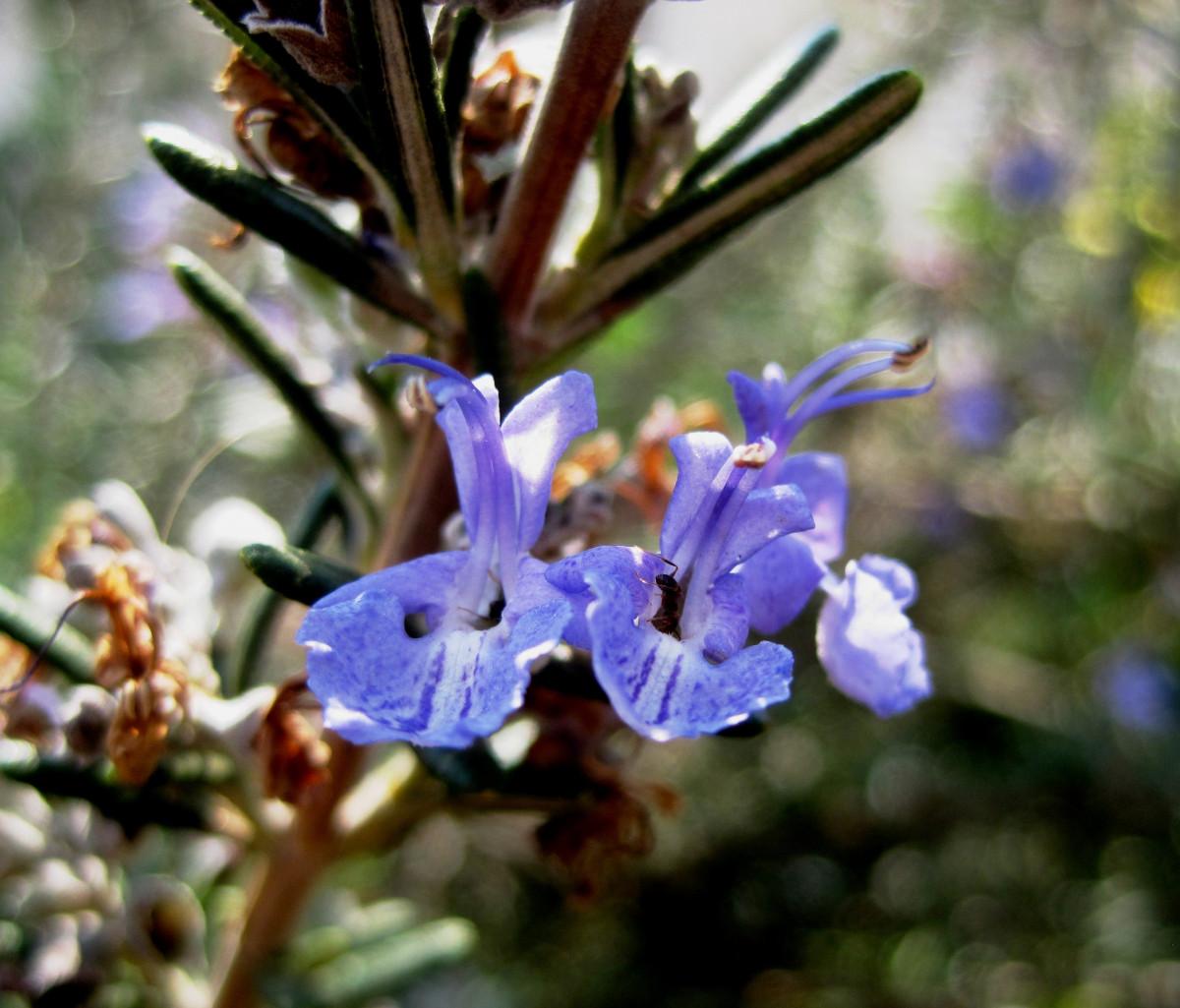 Spiky plante fleur violet printemps herbe bleu flore tige feuilles minuscule délicat Romarin plante à fleurs délicat Sauge commun Orchidée Balai