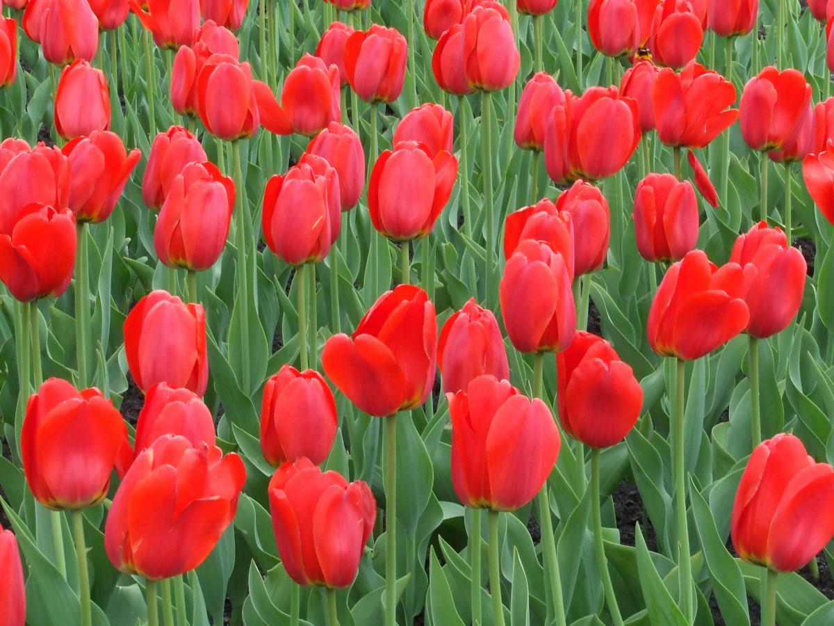 Картинки тюльпанов красных