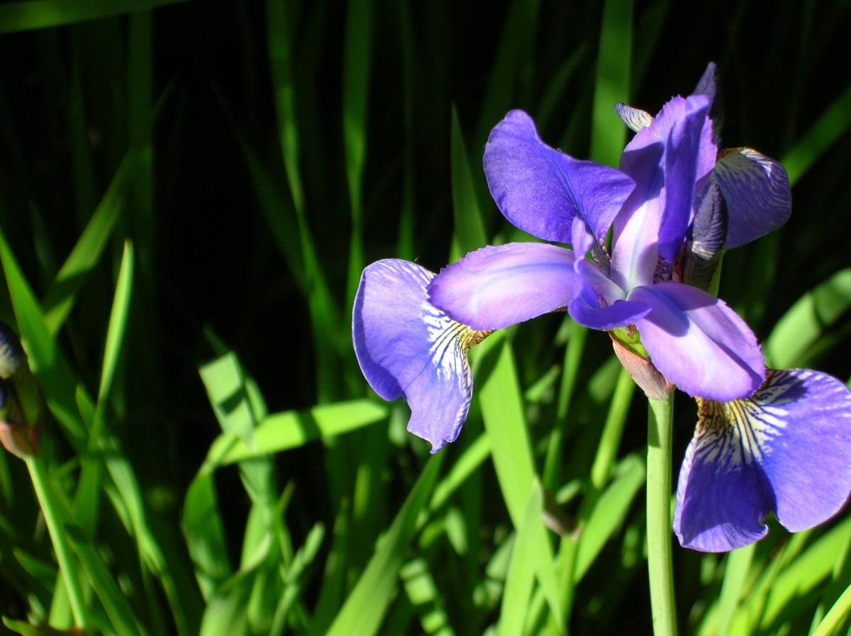 Дикие ирисы цветы