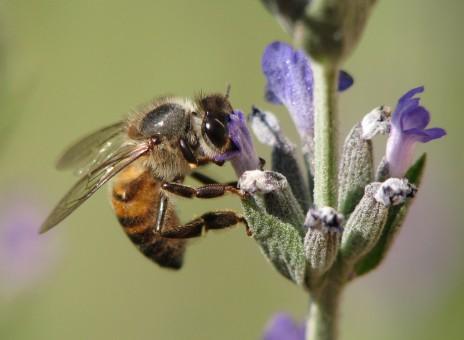 miel de lavande apiculteur