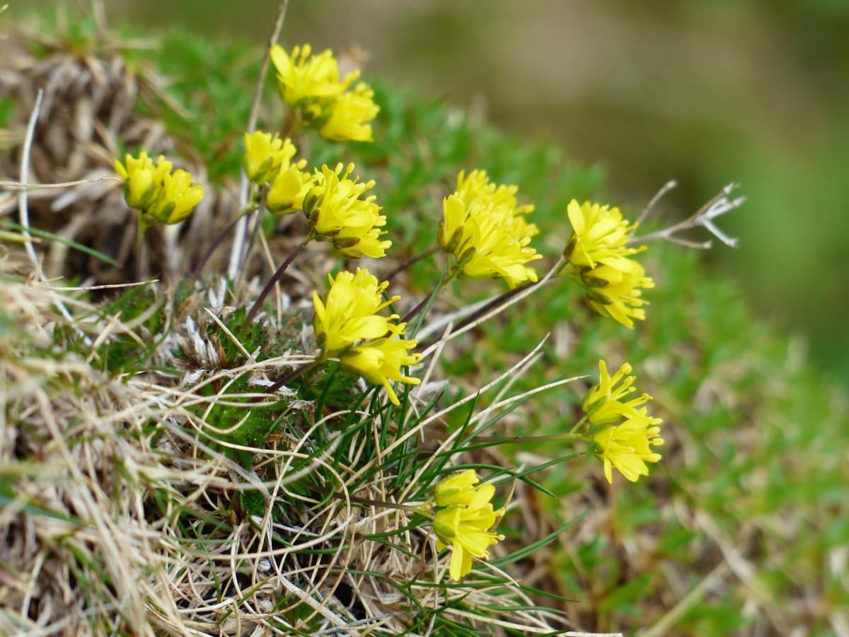 Images gratuites fleur prairie prairie floraison botanique jaune flore fleur sauvage - Arbuste floraison printaniere jaune ...