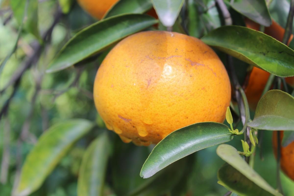 Images gratuites branche fruit fleur aliments for Plante orange