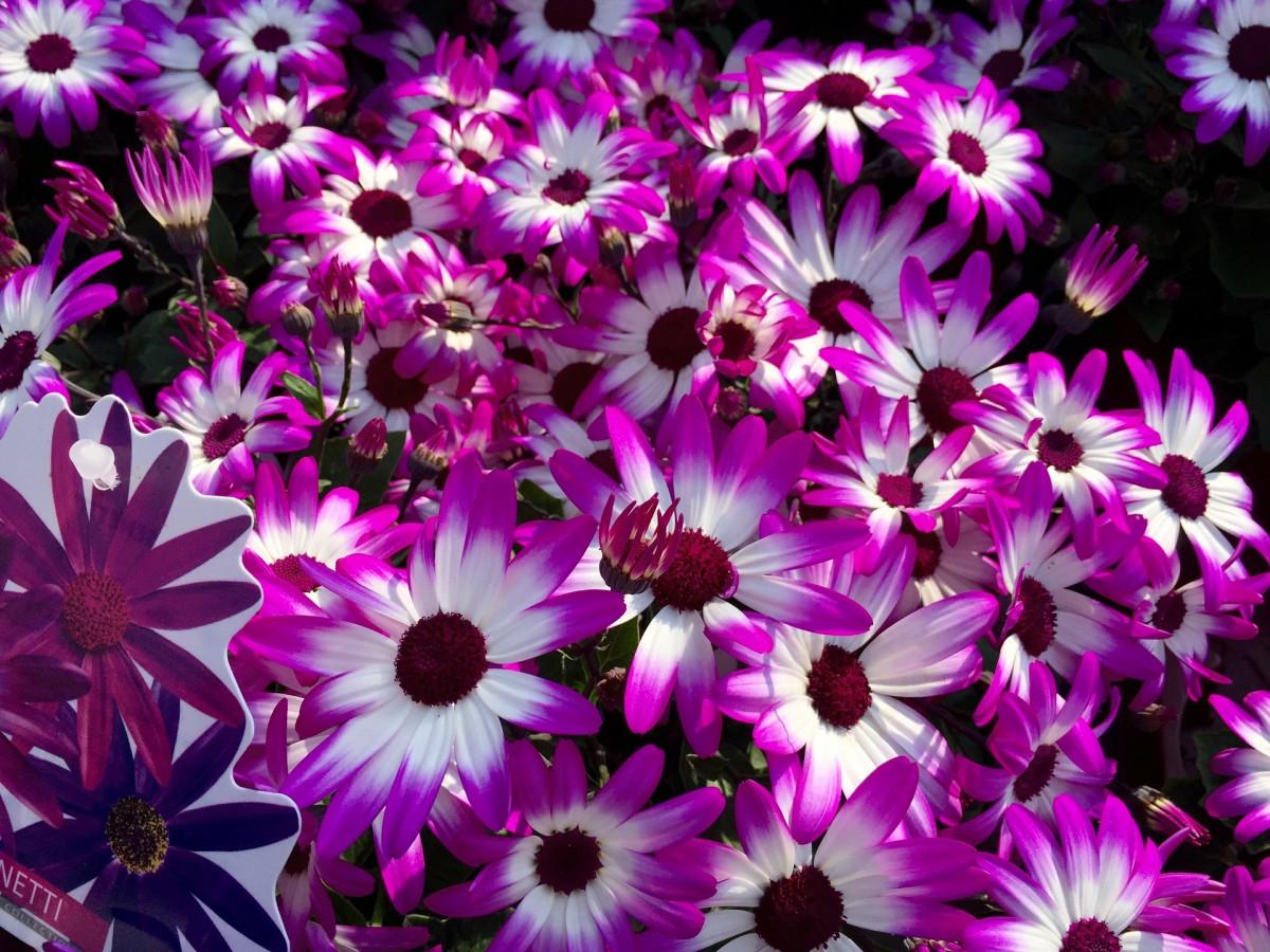 Free Images : blossom, white, flower, purple, petal