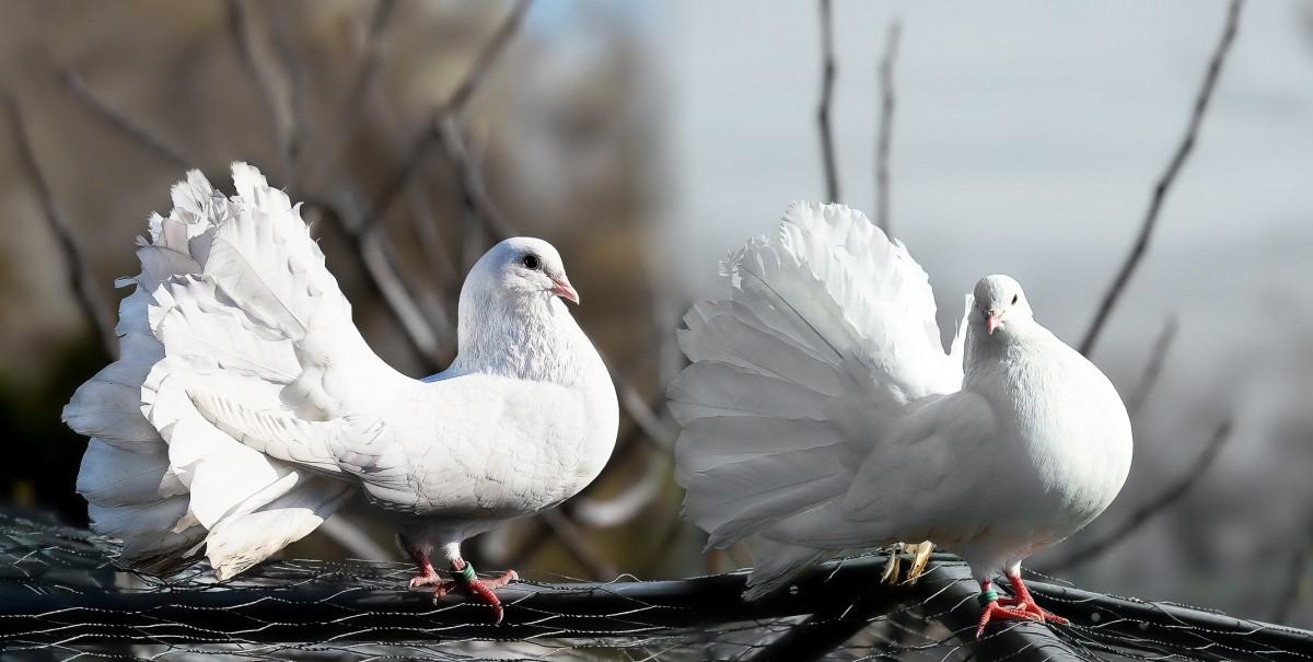 Днем, голуби в картинках и фото